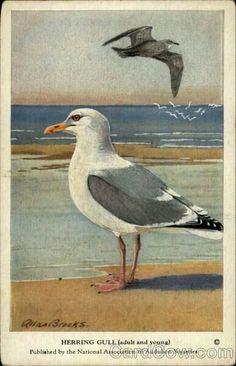 Herring gull Allan Brooks