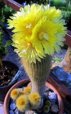 Yellow blooming cactus