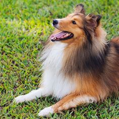 https://www.google.co.jp/search?q=instagram sheltie