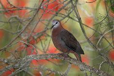 Lemon Dove - BIA - birdimagency
