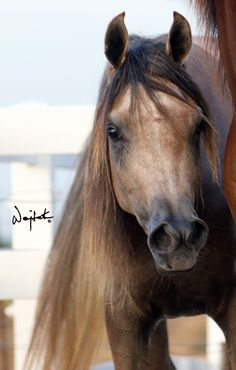 LL Evening Star (Mishaal HP x LL Starsong) - 2012 grey filly - what an exquisite face this beauty has