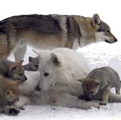 Wolves are great family animals.  PLEASE stop killing them just for being wolves!