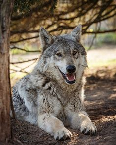 Gorgeous Wolf.