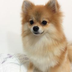 Everything I love about the Playfull Pomeranian Puppies Small Pomeranians - Cute Pomeranian Puppy - Dogs Pomeranian Breed, Black Pomeranian, Cute Pomeranian, Pomeranians, Yorkie, Aussie Puppies, Small Puppies, Cute Puppies, Animals