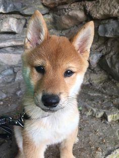 Popular Korea Chubby Adorable Dog - 49fbc0ecd7d0368e6829ac72b810d96a--chubby-cheeks-shiba-inu-puppies  Trends_522035  .jpg