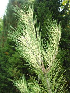 Fabulous bicolor needles on Pinus densiflora 'Oculus-draconis', also known as Dragon's Eye Japanese Red Pine. Rich's Foxwillow Pines Nursery in Woodstock IL.