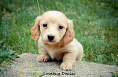Blonde Dachshund puppies | ee red long hair male dachshund puppy $900 Rockford Michigan