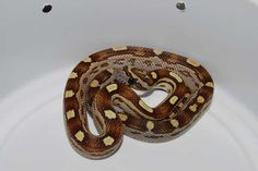 Caramel Motley, het Amel or Ultra Cool Snakes, Pet Snake, Beautiful Snakes, Reptiles, Caramel, Cool Stuff, Pets, Animals, Sticky Toffee