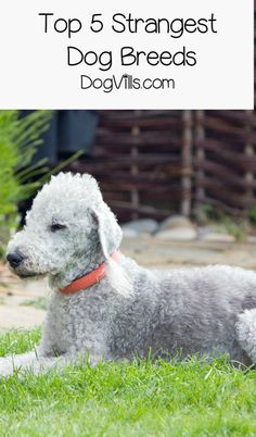 """What are the top 5 strangest dog breeds? While """"strange"""" is totally subjective, these 5 pooches definitely stand out in a crowd! Check them out!"""