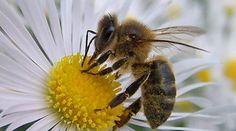Immer mehr Bienenvölker sterben, bei Imkern als auch wild lebende Bienen. Als Hauptursache gelten eingeschleppte Parasiten, die industrialisierte Landwirtschaft und Pestizide. Bitte unterschreiben Sie diese Petition: https://www.regenwald.org/aktion/953/aktion-die-bienen-brauchen-hilfe