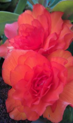 Begonia - these and fuchsias fill our shady back garden
