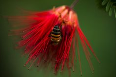 Fairy Duster with bee.