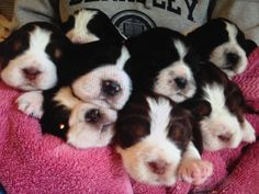 The  puppies :) Teddy's brothers and sisters