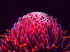 Close-Up Of Torch Ginger Flower Against Black Background