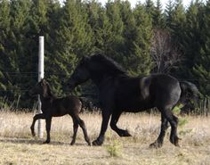 Black Percheron Mare and her Foal.