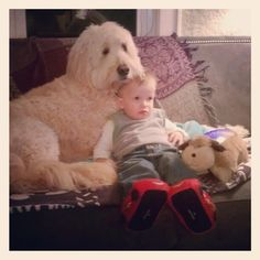 #goldendoodle #dogs #cute #brothers