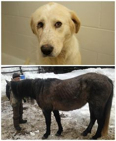 A Slocan Valley man has been charged with animal cruelty for the fourth time, following a BC SPCA seizure of 29 animals from a property near Winlaw, B.C. on Jan. 28.  The animals seized on Thursday were being kept in overcrowded and inadequate conditions and were underweight and suffering from a range of medical issues. Initial estimates for medical care and special diets needed by the underweight animals come to approximately $20,000. If you can help, please visit…