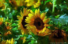 #Sonnenblumen www.spreewald-kraeutermanufaktur.de