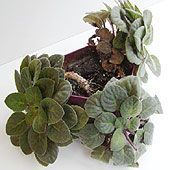 If one of your African violets has developed a neck, which is that bare place where the leaves have been taken off, make sure to repot your plant as soon as possible, and make sure the neck is covered with soil when it has been replanted. It will grow new roots along the newly buried neck area.