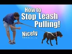 nice How to Train Your Dog to NOT PULL on the Leash (Chloe the pit bull)