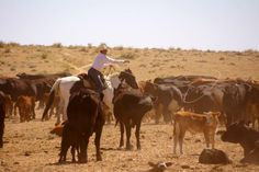 Cowboys, cattle, ropes - come spent your vacation at branding week at Zapata Ranch. #ZapataRanch