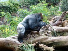 Gorilla - Tenerife Loro Parque.