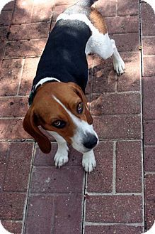 beetle 2 year old male beagle to read beetles story visit our website httphoustonbeaglerescueorgindexphp happy tails pinterest beagle