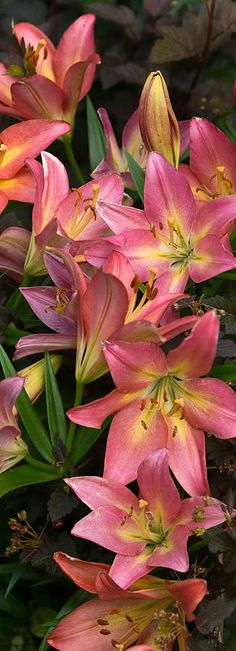 ✯ Tumbling Lilies