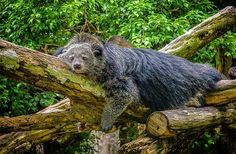 Walking through the woods and suddenly smell cherry cola or popcorn? It's just the local critters. This is a bearcat.