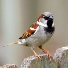 While the House Sparrow may not be the most loved birds, they certainly are a part of our backyard bird watching experience List Of Birds, Common Birds, House Sparrow, State Birds, Porch Lighting, Backyard Birds, Birds Eye View, Little Birds, Beautiful Birds