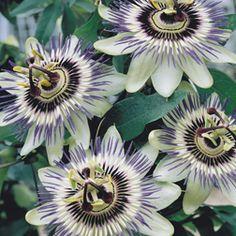 Passiflora caerulea (Large Plant) Granadilla, Passion flower    Hardy Perennial  Van Meuwen
