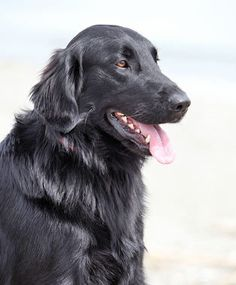 My dog Blackjack, (ok so the photo is another dog, but might as well be him as he looks identical)