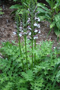 Acanthus 'Morning Candle' PPAF (Morning Candle Perennial Bear's Breech)