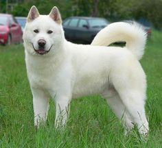 White Akita adult....
