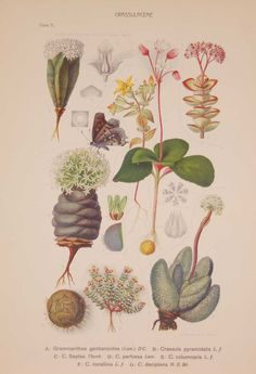 Original 1925 vintage botanical print titled Crassulaceae Plate 5 by Rudolph Marloth. Print size is 11 by 8 inches. Rudolf Marloth (1855 – 1931) was a German-born South African botanist, pharmacist and analytical chemist, best known for his work on the Flora of South Africa which where published between 1913 and 1932. The set of prints we have where the group published in 1925 by Darter Bros & Co in Cape Town South Africa. Cape Town South Africa, Vintage Botanical Prints, Is 11, Prints For Sale, Rooster, Flora, African, Plates, Chemist