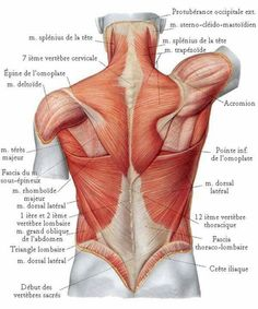 Diagram back muscles upper back human anatomy diagram anatomy diagram back muscles upper back human anatomy diagram anatomy human body undead sculpture references pinterest human anatomy human body and anatomy ccuart Image collections