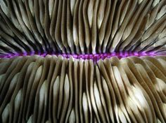 Mushroom Coral  Photograph by Wolcott Henry    Reminiscent of the underside of a mushroom cap, this coral is common in the western Pacific Ocean. Mushroom coral (Fungia scutaria) is formed from a single polyp, instead of a colony of polyps.