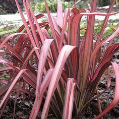 Phormium tenax 39 rainbow queen 39 lin de nouvelle z lande for Bouture yucca exterieur