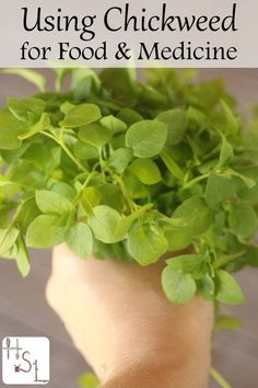 Forage for and use abundant chickweed for both food and medicine this spring and summer with these easy and tasty methods