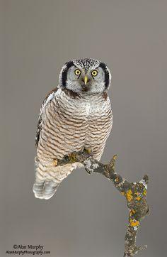 Northern Hawk Owl by Alan Murphy Owl Photos, Owl Pictures, Beautiful Owl, Animals Beautiful, Owl Bird, Mundo Animal, Pretty Birds, Cute Owl, Birds Of Prey