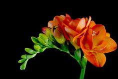 Imágenes de flores y plantas: Freesia