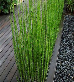 Can Be Grown Indoors Fresh Moso Bamboo Seeds MOSO BAMBOO Tree Seeds 60PCS DIY Home Garden