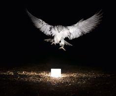 Falcon  (photo: Gian Paul Lozza)