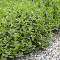 Edelgamander: ground cover for dry locations - Because of its dense and shallow growth, the Edelgamander is an enrichment for the garden even outs - Diy Projects For Beginners, Gardening For Beginners, Shade Garden, Garden Plants, Organic Mulch, Christmas Crafts For Adults, Peat Moss, Diy Chicken Coop, Real Plants