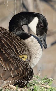 Beautiful Spring Time,Canada Goose Mama with her baby.