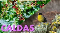 Caldas is one of the departments with the greatest biodiversity in Colombia. Located between the central mountain range and the western mountain range of the Andes, it contains a lot of ecosystems, such as dry forests and paramos. It is one of the departments with highest endemism in the country, with 22 endemic bird species. Colombian Coffee, Mountain Range, Bird Species, Bird Watching, Forests, Country, Animals, Animales, Rural Area
