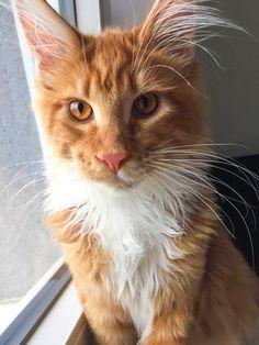Cats, Instagram Posts, Animals, Gatos, Animales, Animaux, Animal, Cat, Animais