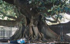 A huge Rubber tree can be seen in Plaza Francia close to La Recoleta Cemetery. It is one of the largest Rubber trees in the world. Recoleta Cemetery, Rubber Tree, Trees, Argentina, Buenos Aires, Tree Structure, Wood, Plant