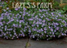 "Symphyotrichum oblongifolium 'Raydon's Favorite'. Aromatic Aster. ""Full sun and dry soil. Cut back after flowering to prevent seedlings. A low-growing BUSHY aster w/ mounds of gray-green foliage. Blooms early Aug-early Nov. 38""h x 53w in test garden, 24-36"" x 24-36"" in literature."