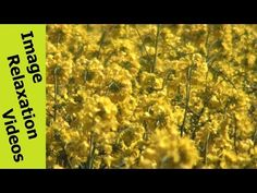 Wind Bobbing Rapeseed - Hypnotic Nature Hypnosis Relaxation Nature Sounds - 5 Minutes By IRV - http://www.imagerelaxationvideos.com/wind-bobbing-rapeseed-hypnotic-nature-hypnosis-relaxation-nature-sounds-5-minutes-irv/